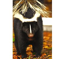 Angry skunk Photographic Print