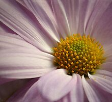 The Purple Daisy by Teresa Young