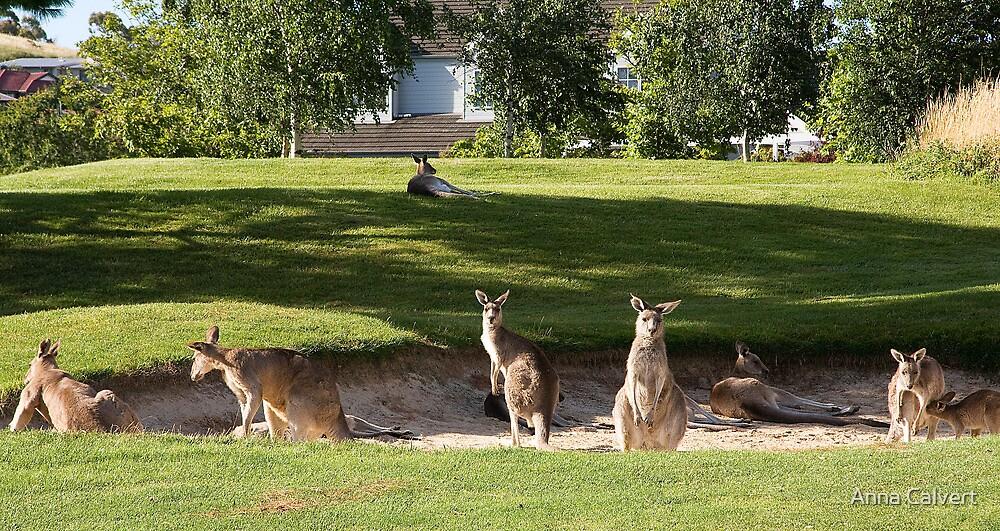 Kangaroos on the golf course by Anna Calvert
