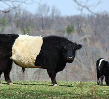 Belted Galloway by barnsis
