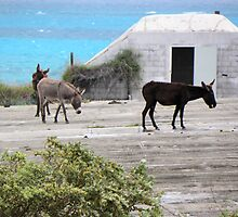 Wild Donkeys by Rosalie Scanlon