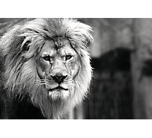 Themba, King of The Milwaukee County Zoo Photographic Print
