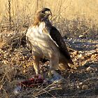 Red-tailed Hawk ~ Dinner for One by Kimberly P-Chadwick