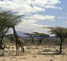 Reticulated Giraffe browsing in Samburu NP, Kenya, Africa by Bev Pascoe