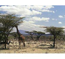 Reticulated Giraffe browsing in Samburu NP, Kenya, Africa Photographic Print