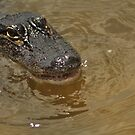 Young Alligator, As Is by Kim McClain Gregal