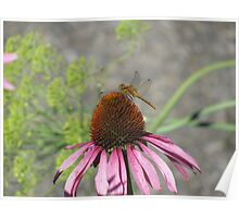 Dragonfly on Purple Coneflowers Poster