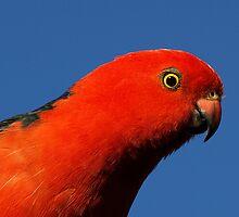 Male King Parrot in Drouin garden by Bev Pascoe
