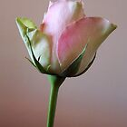 Pastel coloured rose by Daphne Gonzalvez