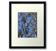 Raymond Island Koala Framed Print