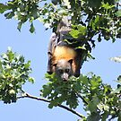 Grey Headed Flying Fox - Bairnsdale by Erial