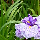 Purple Iris in Dunedin Botanical Gardens by suz01