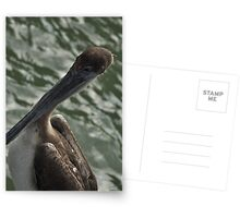 Young Brown Pelican, As Is Postcards