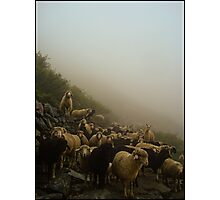 SHEEPS Photographic Print