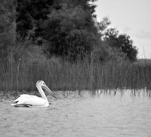 pelican 2 by fishinmusician