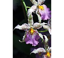 Cattleya Orchid Photographic Print