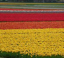 Keurkenhof bulb fields by prmorgan