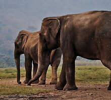 Old Female Elephants out in a field by GarethWilton