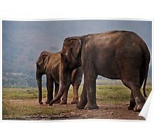 Old Female Elephants out in a field Poster