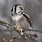 Northern Hawk-Owl perch by Jim Cumming