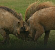 Warthogs at war - Addo Elephant National Park by JulesM