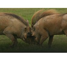 Warthogs at war - Addo Elephant National Park Photographic Print
