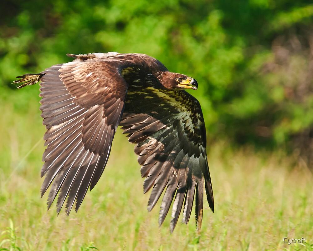 Juvenile Bald Eagle by Cycroft