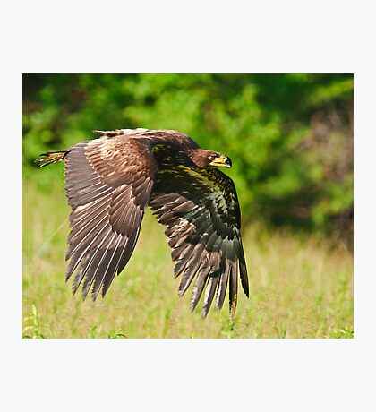 Juvenile Bald Eagle Photographic Print