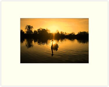 Lake of golden light - swan silhouette by Penny V-P