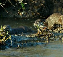 Two beautiful otters by Russell Couch