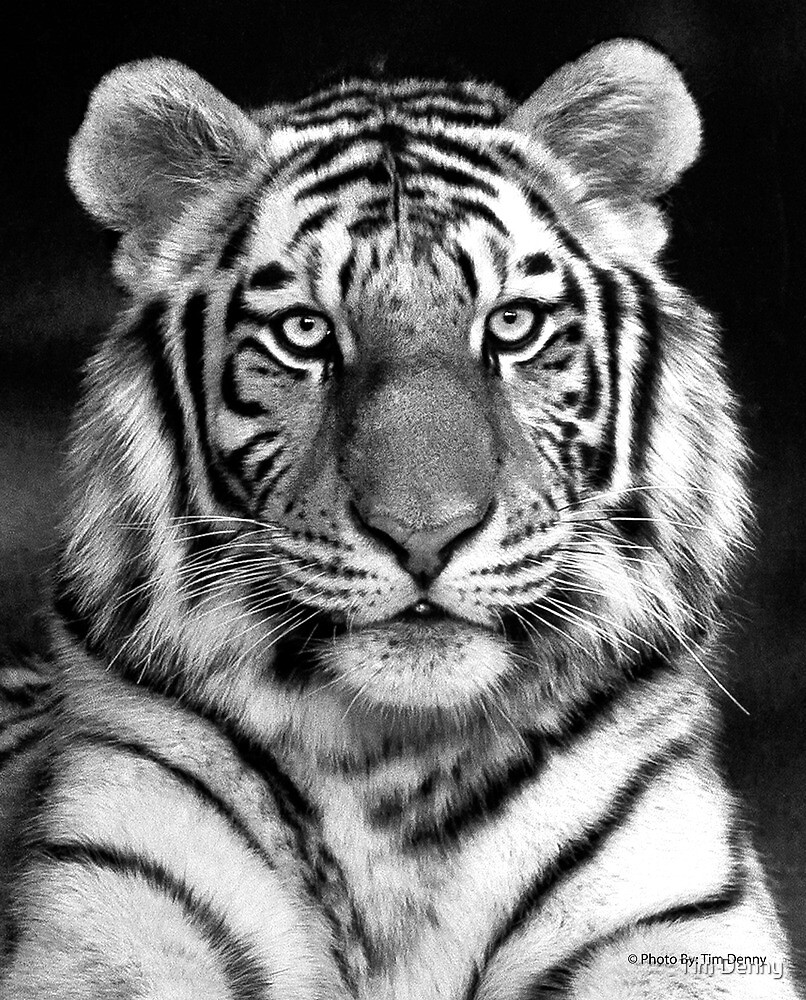 Tiger in Your Face by Tim Denny