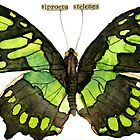 Siproeta Stelenes (Malachite Butterfly) by Carol Kroll