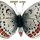 Plebejus Acmon (Acmon Blue Butterfly) by Carol Kroll