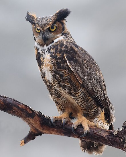 Great Horned Owl by Cycroft
