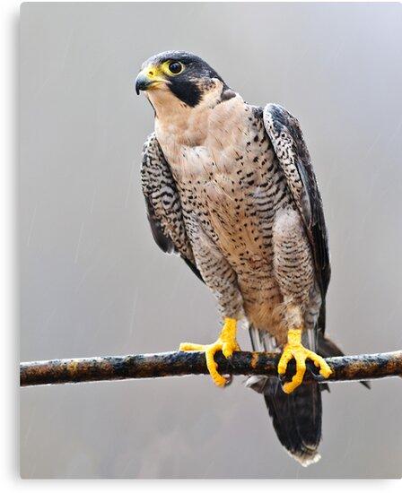 Peregrine Falcon by Cycroft