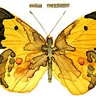 Colias Eurytheme (Alfalfa Butterfly) by Carol Kroll