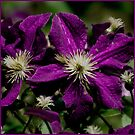Purple Clematis by GardenJoy