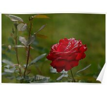 Red Rose and Morning Dew Poster