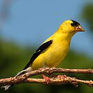 A Sunny American Goldfinch by Robert Miesner