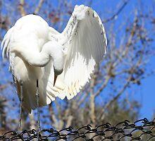Great Egret Preening by AuntDot