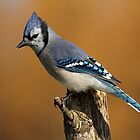 Blue Jay on Poplar Stump by Bill McMullen