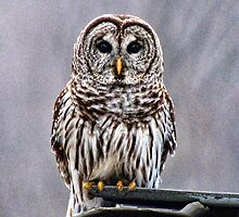 Barred Owl by barnsis