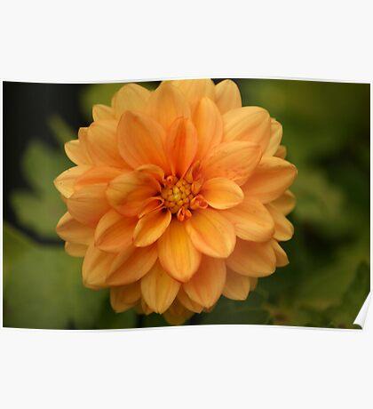 Peach Dahlia Poster