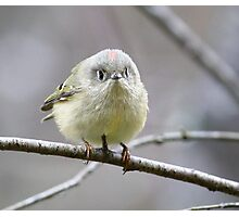 Ruby Crowned Kinglet  Photographic Print