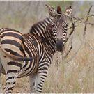 LOOKING BACK - Burchell's Zebra by Magaret Meintjes