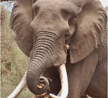 "THE AFRICAN ELEPHANT - TUSKERS-""THE KRUGER NAT, PARK"" by Magriet Meintjes"