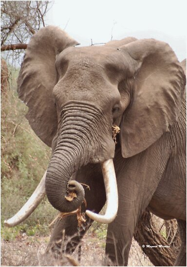 "THE AFRICAN ELEPHANT - TUSKERS-""THE KRUGER NAT, PARK"" by Magaret Meintjes"