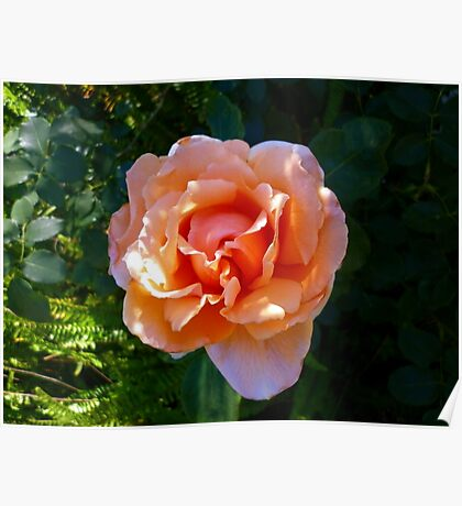 Apricot Rosa Poster