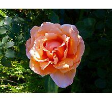 Apricot Rosa Photographic Print