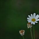 Daisy in green by petejsmith